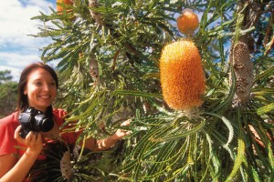 Iconic WA Acorn Banksia Prionotes, Kings Park. Photo Credit: Tourism Western Australia