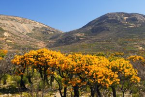 Nuytsia floribunda (Western Australian Christmas Tree), Cape Le Grand National Park: Photo Credit: Tourism Western Australia