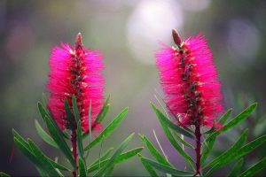 Bottlebrush, Albany. Photo Credit: Amazing Albany