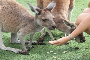 Hand feeding kangaroos, Caversham Wildlife Park