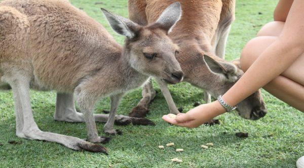 Hand feeding, kangaroos, Caversham Wildlife Park, hand, kangaroo