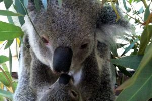 Koala Kisses, Caversham Wildlife Park. Photo Credit: Tourism Western Australia