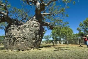 Boab Prison Tree, Broome. Photo Credit: Tourism Western Australia