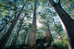 Karri Trees in Boranup Forest, Leeuwin Naturaliste National Park. Photo Credit: Tourism Western Australia