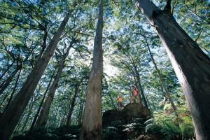 Karri Trees in Boranup Forest, Leeuwin Naturaliste National Park. Photo Credit: Tourism Western Australia