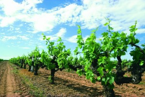 Grape Vines, Margaret River. Photo Credit: Tourism Western Australia
