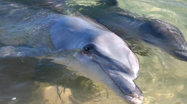 Dolphins swimming in water, shoreline, close up