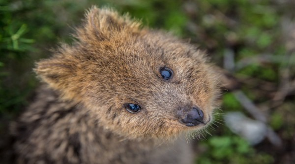 Quokka close up