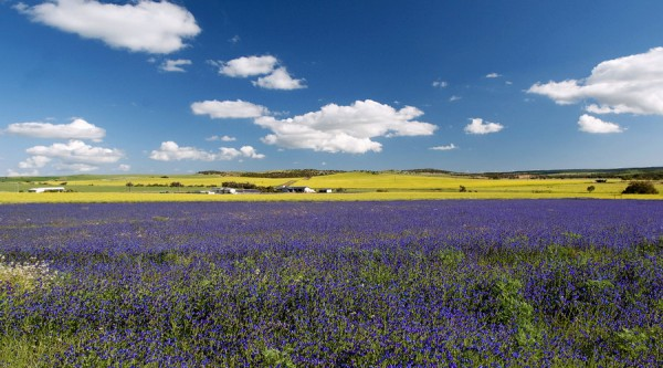 Chapman Valley, field of purple wildflowers